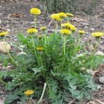 Flowering dandelion. Credit: www.wildplantdatabase.net